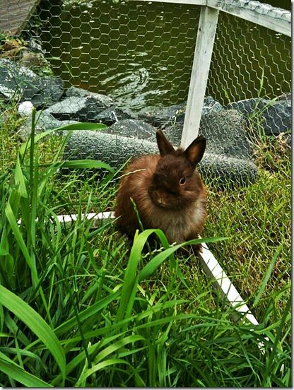 dwarf-bunny-218650_1280